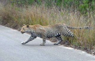 Leopard-on-road